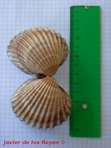 Acanthocordia tuberculata Salobreña 9jul2015