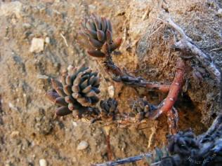 Sedum caespitosum (Cav) DC. Reserva Regajal-Mar de Ontígola