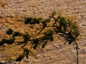 Chara vulgaris (Aranjuez) 21dic2014