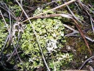 Cladonia foliacea (Regajal Mar Ontígola) 25dic2014