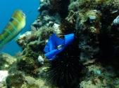 Erizo de mar captura plástico
