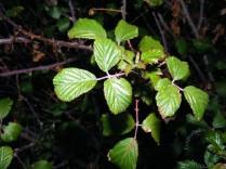 Rubus ulmiflius - Zarzamora (Mar Ontígola) 16nov2014