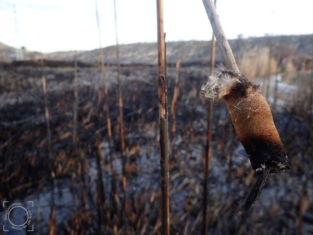 Juncos quemados