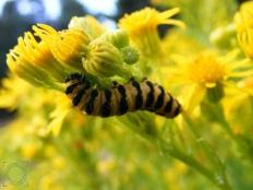 Callimorpha jacobaeae (larva)