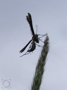 Pterophoridae fam.