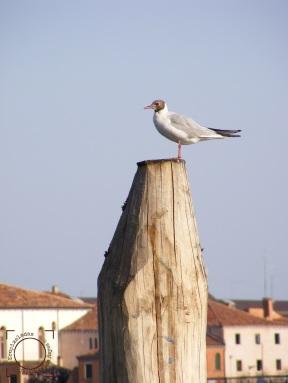 Gaviota - Venecia