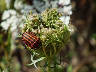 Graphosoma italicum