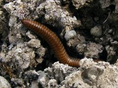 Ommatoiulus rutilans (Milpies)