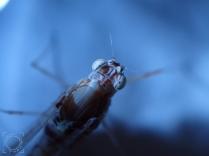 Ephemeroptera