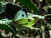 Pieris rapae - Blanquita de la col