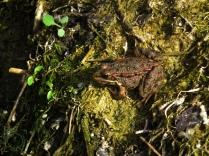 Rana común - Pelophylax perezi