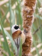 Remiz pendulinus - Pájaro moscón