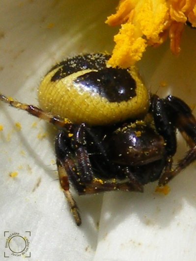 Synema globosum - Araña Napoleón