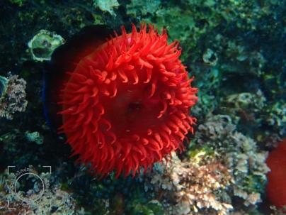 Actinia equina - Tomate de mar