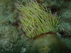 Anemonia viridis - Ortiga de mar