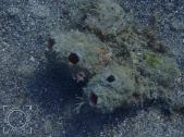 Ascidiidae fam
