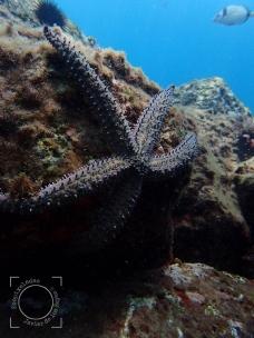 Marthasterias glacialis - Estrella mar común