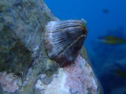 Perforatus perforatus - Gran bellota de mar