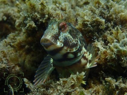 Parablennius incognitus - Babosa verde