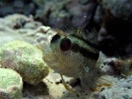 Parablennius pilicornis
