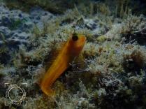 Parablennius pilicornis hembra