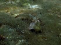 Aidablennius sphynx - Dormilón