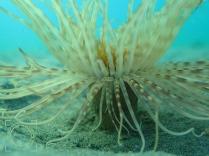Cerianthus membranaceus - Anémona de tubo
