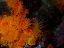 Astroides calycularis - Coral estrellado