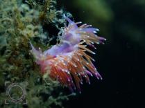 Flabellina affinis - Flabellina violeta