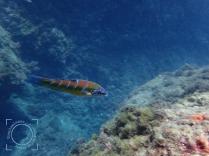Thalossoma pavo - Fredi (hembra)