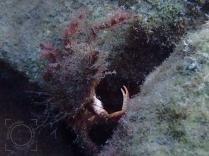 Maja crispata - Cámbara