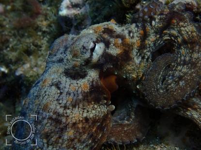 Octopus, detalle cabeza y ojo