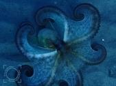 Octopus, pose defensiva