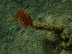 Spirographis spallanzani