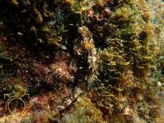 Scorpaena
