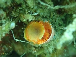 Serpula vermicularis