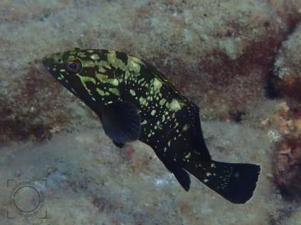 Epinephilus marginatus, Mero