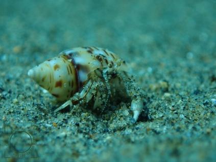 Tanatocresis, decápodo usa la concha de un gasterópodo