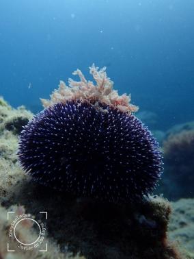 Sphaerechinus granularis - Erizo violeta
