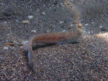 Trachinus draco, Escorpión