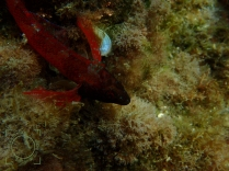 Tripterygion tripteronatus, Moma nariguda (macho)