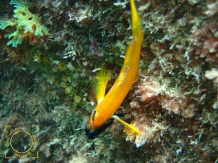 Tripterygion delaisi - Moma amarilla (macho)