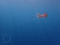Tentáculos Pelagia noctiluca