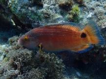 Symphodus mediterraneus