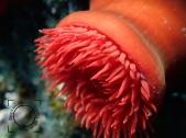Actinia equina, Tomate de mar