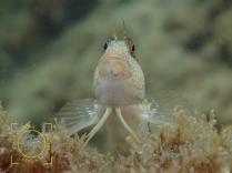 Bleniidae fam