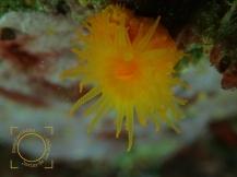 Leptopsammia pruvoti, Coral solitario amarillo