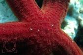 Ophidiaster ophidianus, Estrella purpúrea