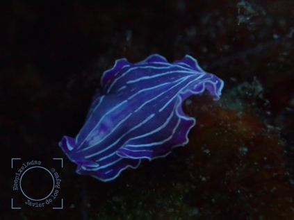 Prostheceraeus roseus