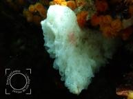 Clathrina coriácea, Clathrinidae fam